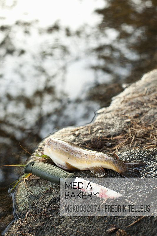 High angle view of brown trout with knife on rock at lakeshore