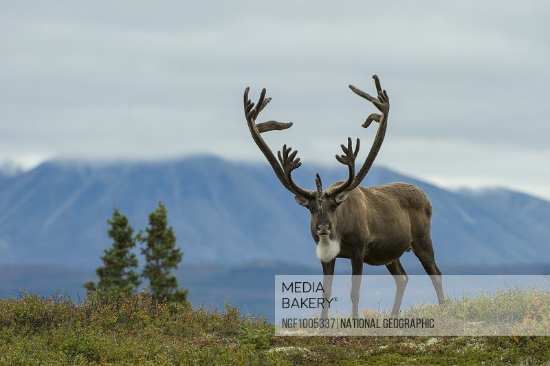 A caribou stands at attention on a ridge.
