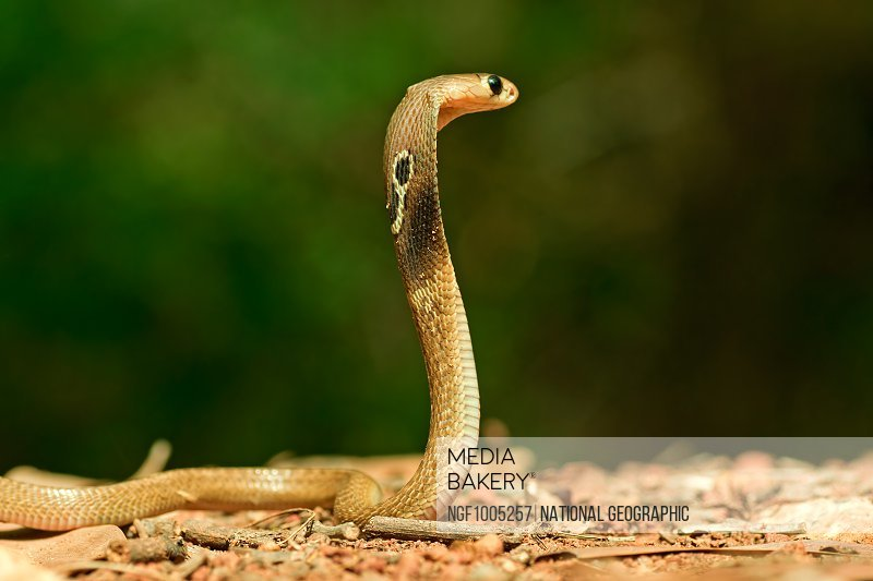 A Juvenile Spectacled Cobra, Naja Naja, stands at attention.