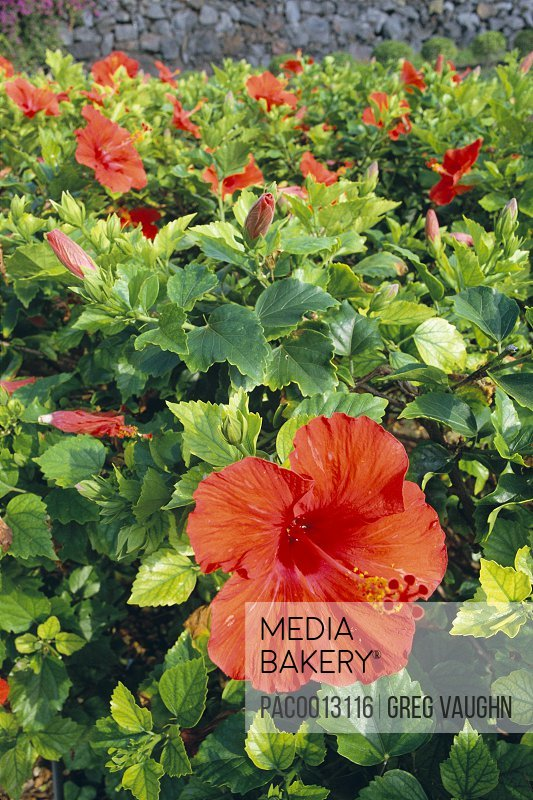 Mediabakery Photo By Pacific Stock Red Hibiscus Hedge Bush With