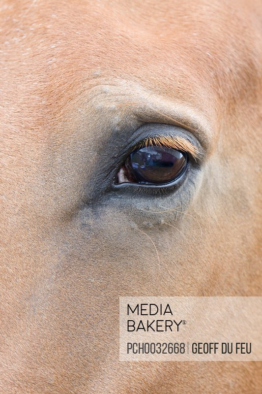 Photo by Photosync Images - Close up of the Eye of a Pale Brown Horse