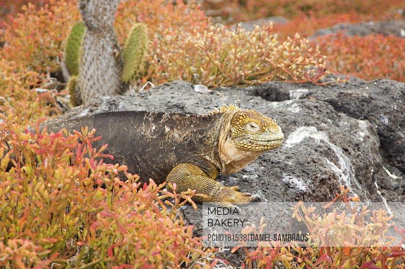 Land Iguana Galapagos Islands