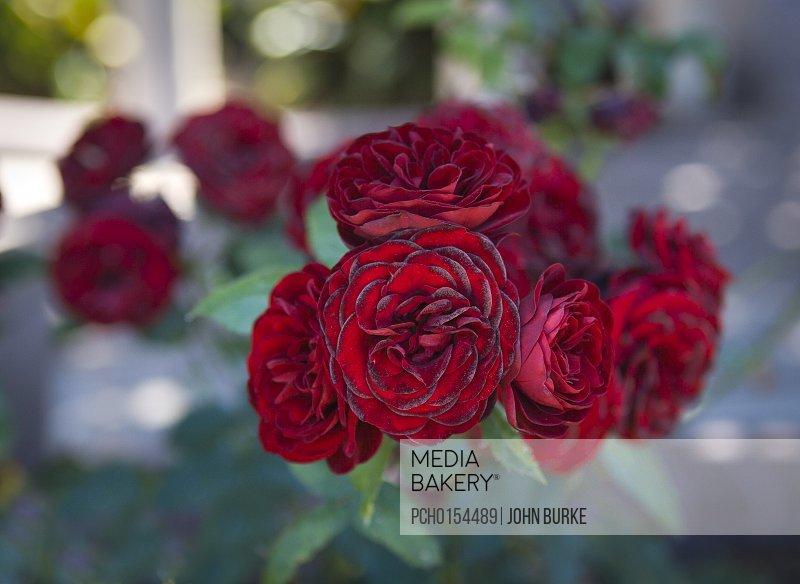 Lavaglut rose floribunda rose