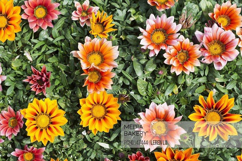 Spring flowers Gazania splendens