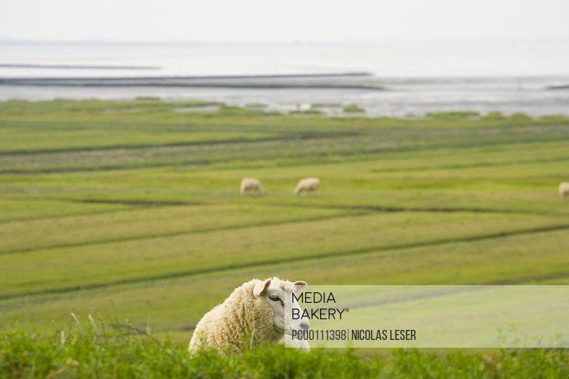 Grassland sheep