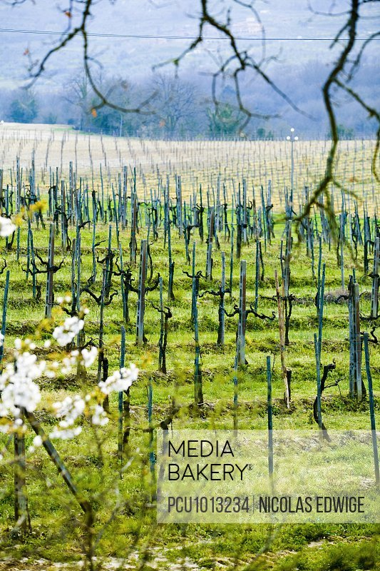Landscape with vines in Italy