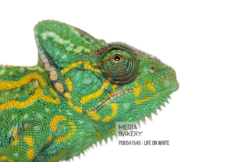 Headshot of a Yemen chameleon