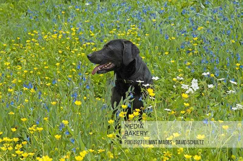 Mediabakery photo by photoplay a black labrador retriever dog a black labrador retriever dog sitting in a meadow of tall grasses and yellow wild flowers mightylinksfo