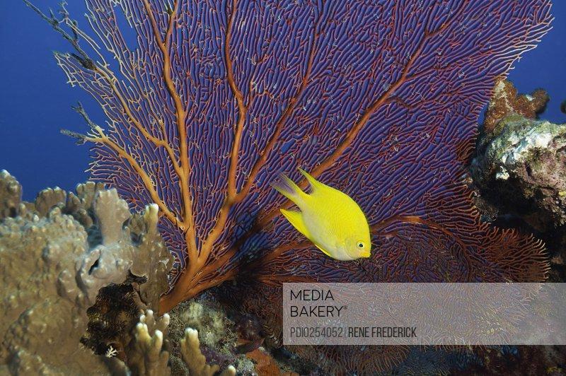 Lemon Damsel (Pomacentrus moluccensis) and Gorgonian Sea Fan