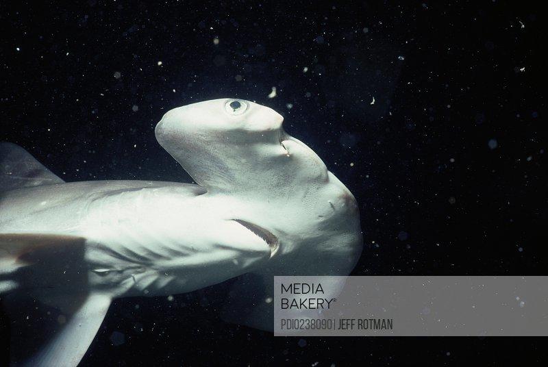 Juvenile scalloped hammerhead shark (Sphyrna lewini)