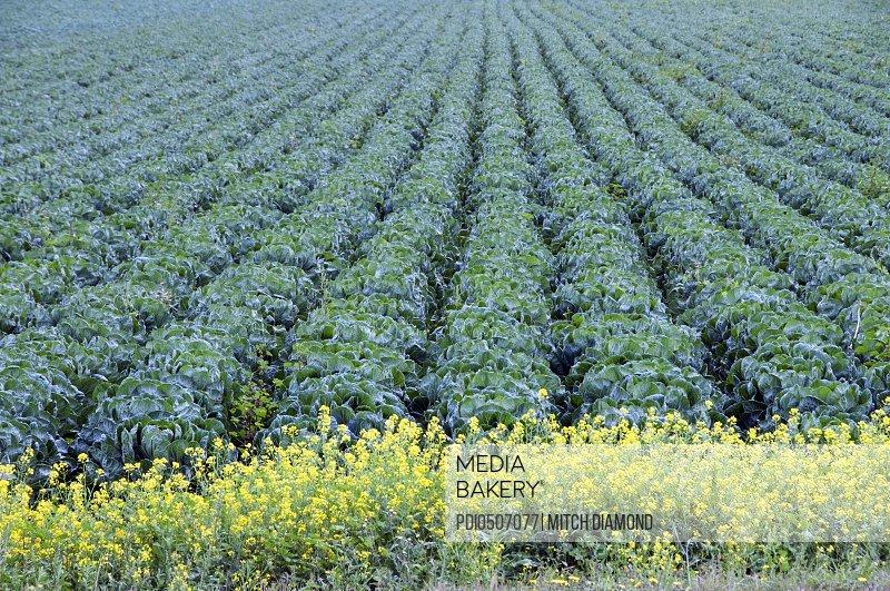 California produce fields