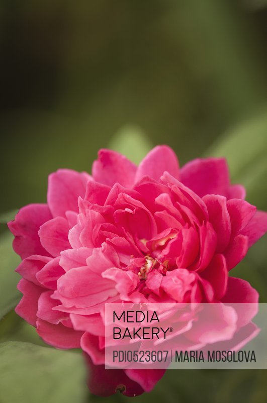 English Shrub Rose 'Sophy's Rose'