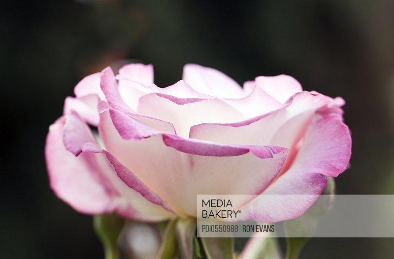 Rose 'Handel'