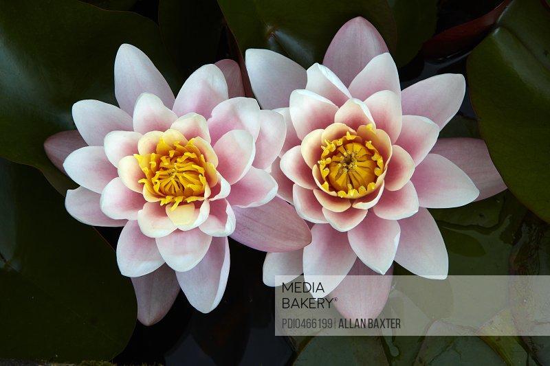Pair of water Lilys