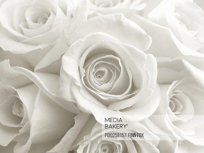 White roses (Rosa sp.) close-up (full frame) (B&W)