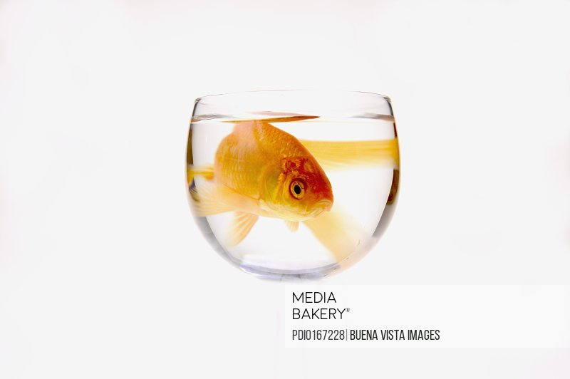 Goldfish (Carassius auratus) in bowl