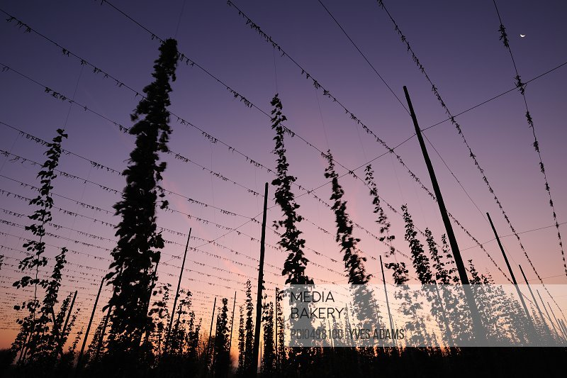 Cultivation of Hop at sunset Humulus lupulus)