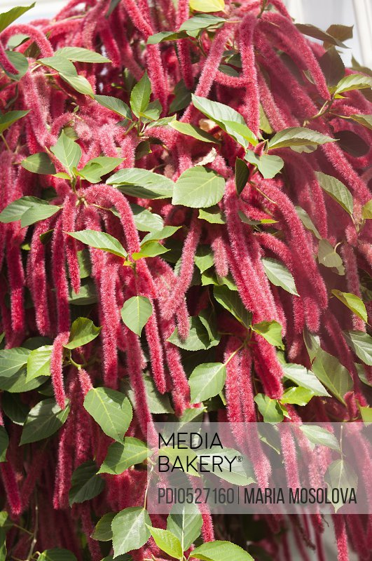 Abundance of Amaranthus Flowers