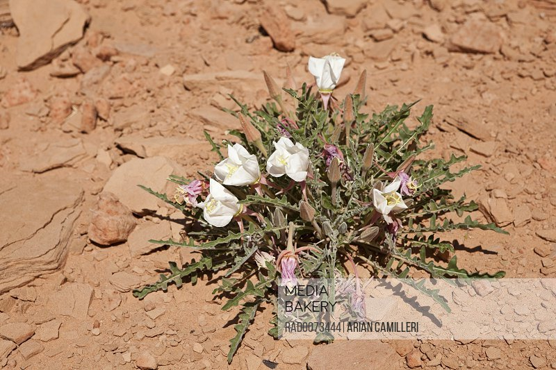 Mediabakery Photo By Radius Images Desert Flower Page Lake