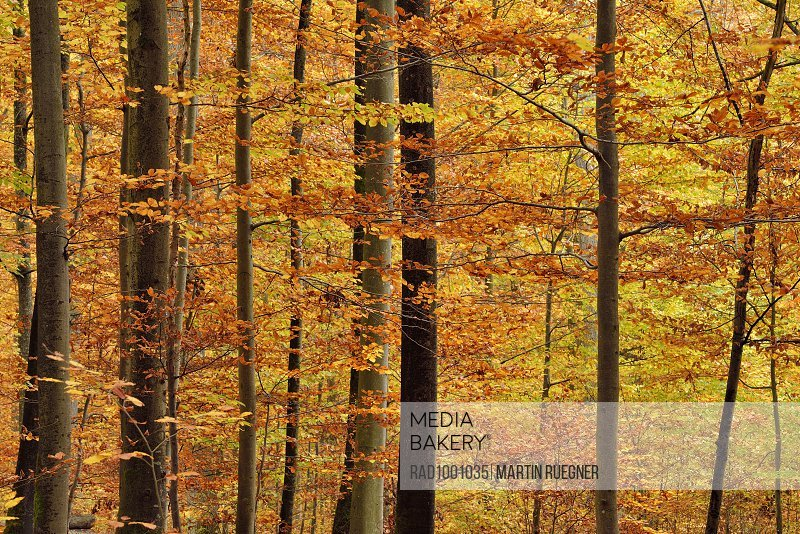 Forest in autumn colours in Bavaria, Germany