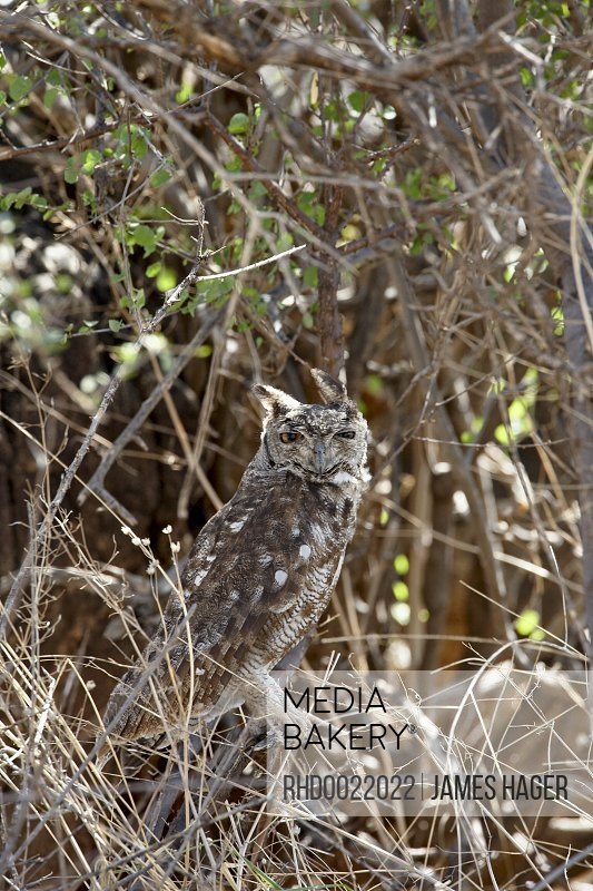 mediabakery photo by robert harding spotted eagle owl bubo