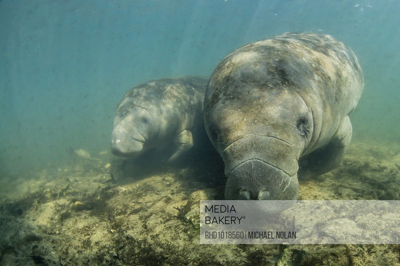 Mediabakery - Photo by Robert Harding - West Indian manatees