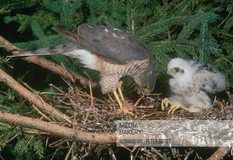 Sharp-shinned Hawk (Accipiter striatus) preparing prey for youngster