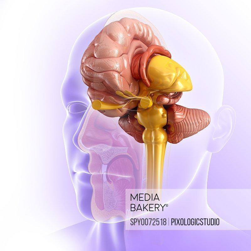 Human brain anatomy illustration