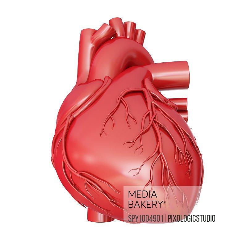 Human heart anatomy, illustration