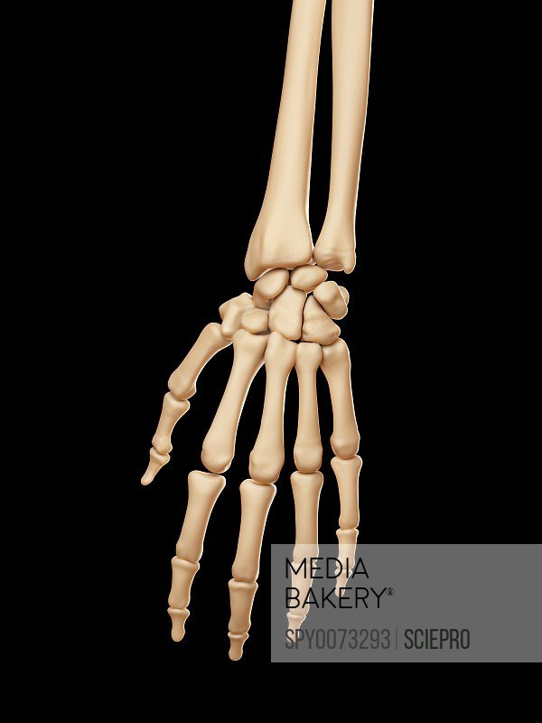 Human hand bones illustration