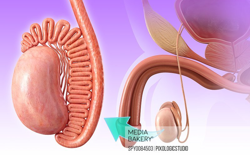 Mediabakery - Photo by Science Photo Library - Male testis anatomy ...