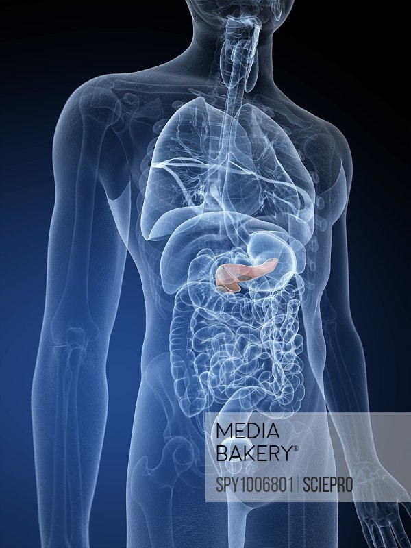 Mediabakery Photo By Science Photo Library Human Spleen