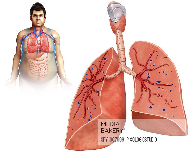 Male lung anatomy, illustration