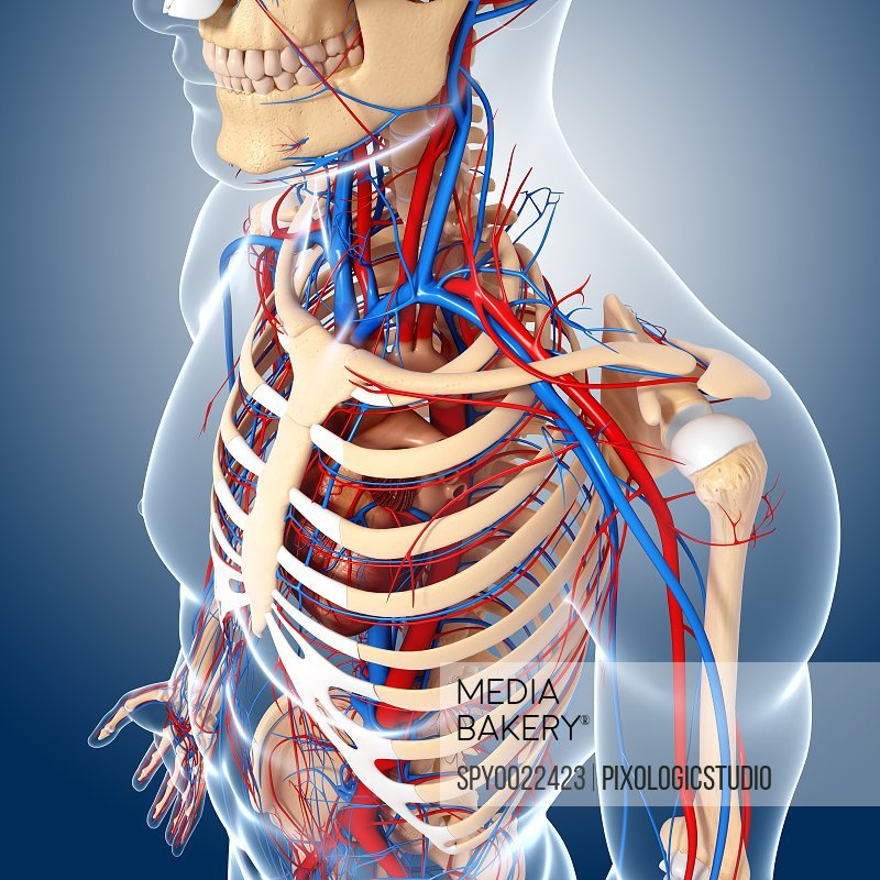 Upper body anatomy artwork