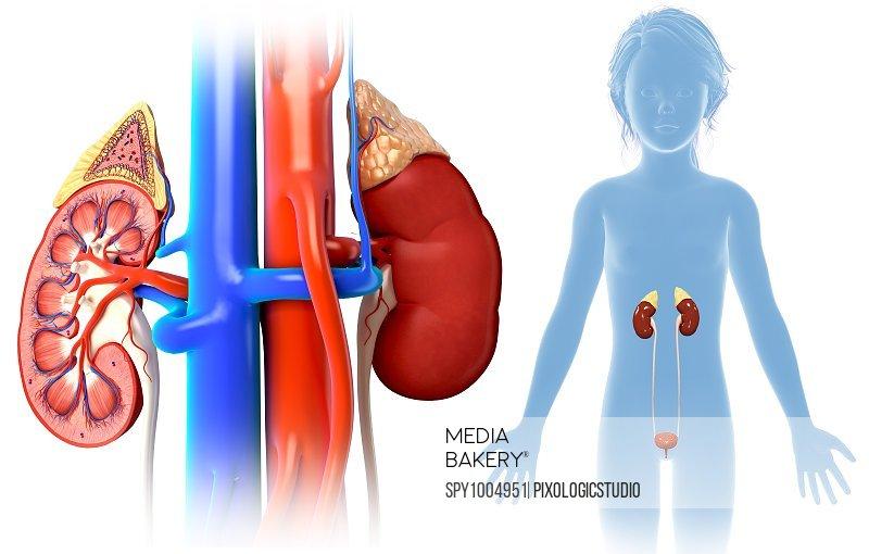 Child's kidney anatomy, illustration