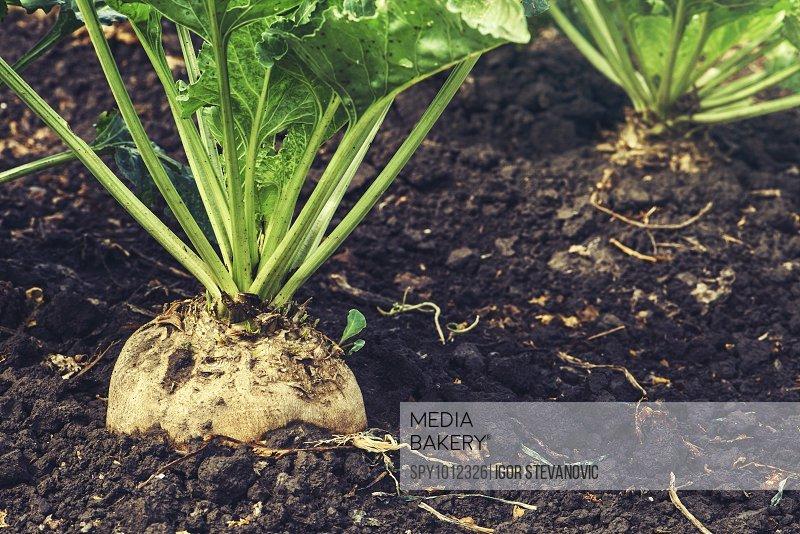 Sugar beet root.