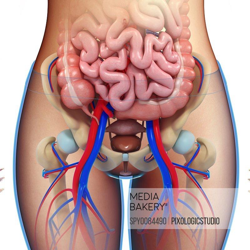 Female pelvic anatomy, illustration
