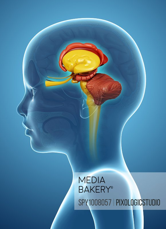 Child's brain anatomy, illustration