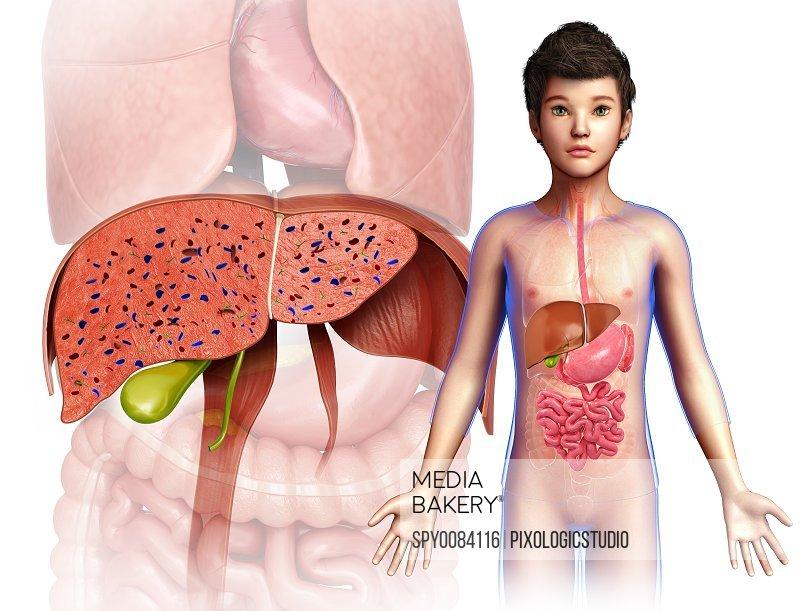 Child's liver anatomy, illustration