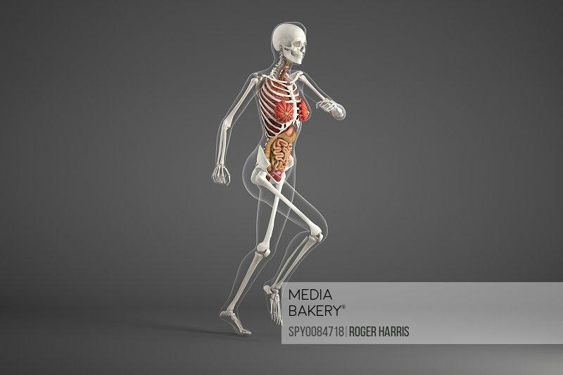 Anatomy of female runner