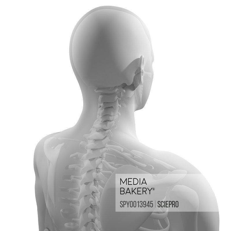 Mediabakery Photo By Science Photo Library Upper Body Bones