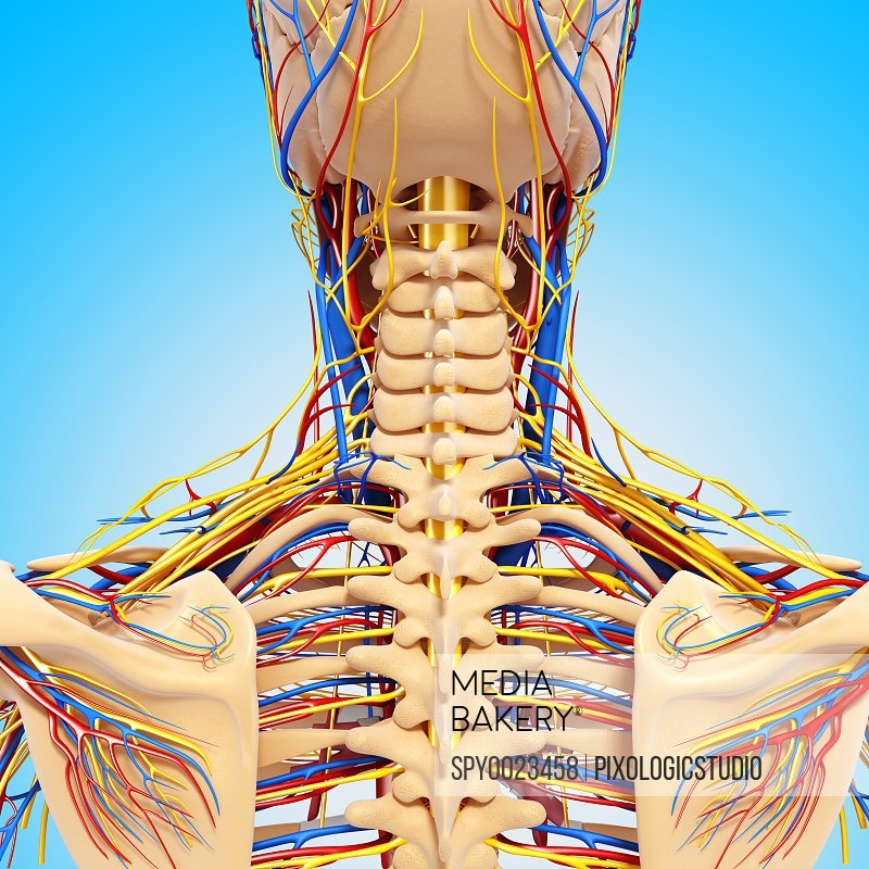 Upper body anatomy artwork