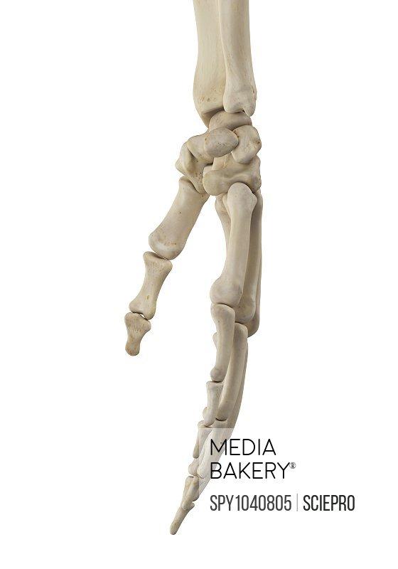 Human hand anatomy, illustration