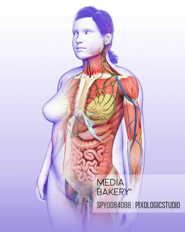 Female anatomy, illustration