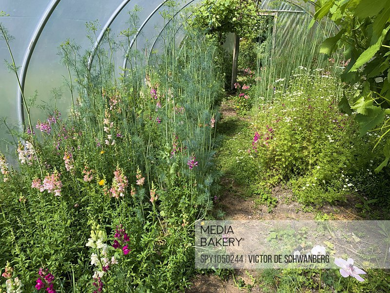 Inside a polytunnel used for growing plants.