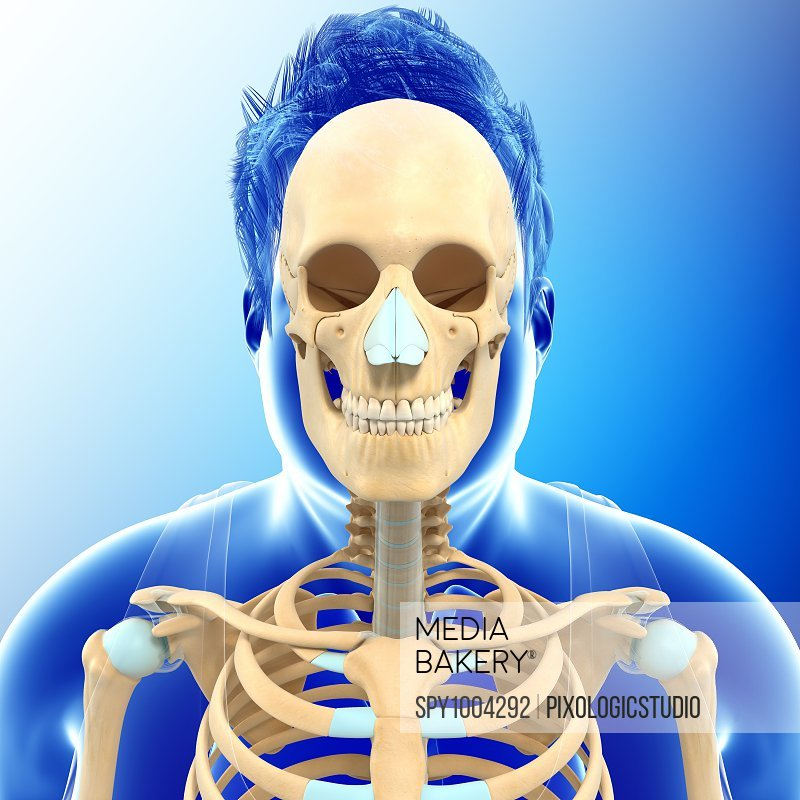 Male skeletal anatomy, illustration