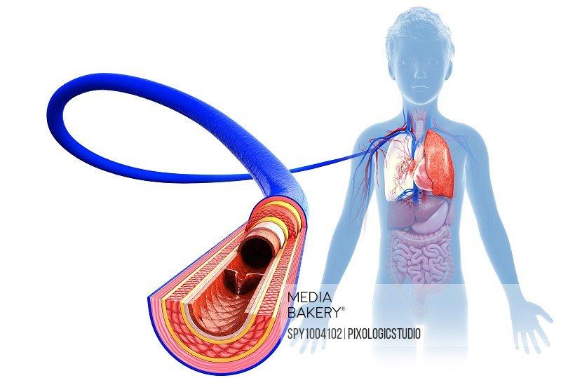 Child's vein anatomy, illustration