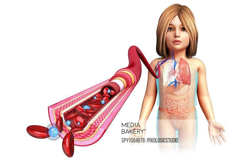 Child's artery anatomy, illustration