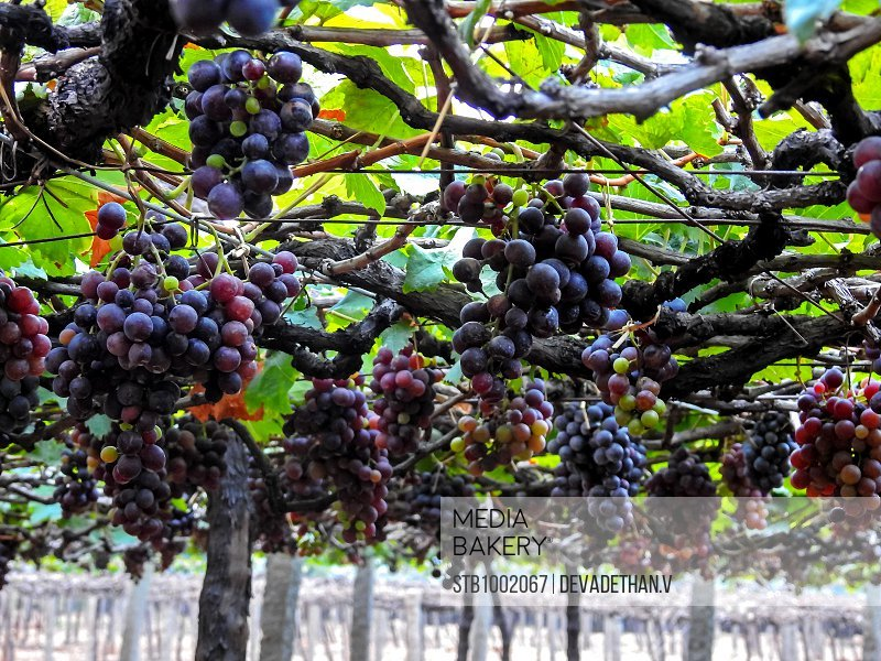 Grape bunches before cultivation