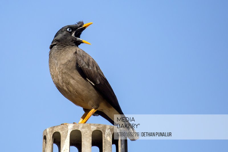 Jungle Myna making sound